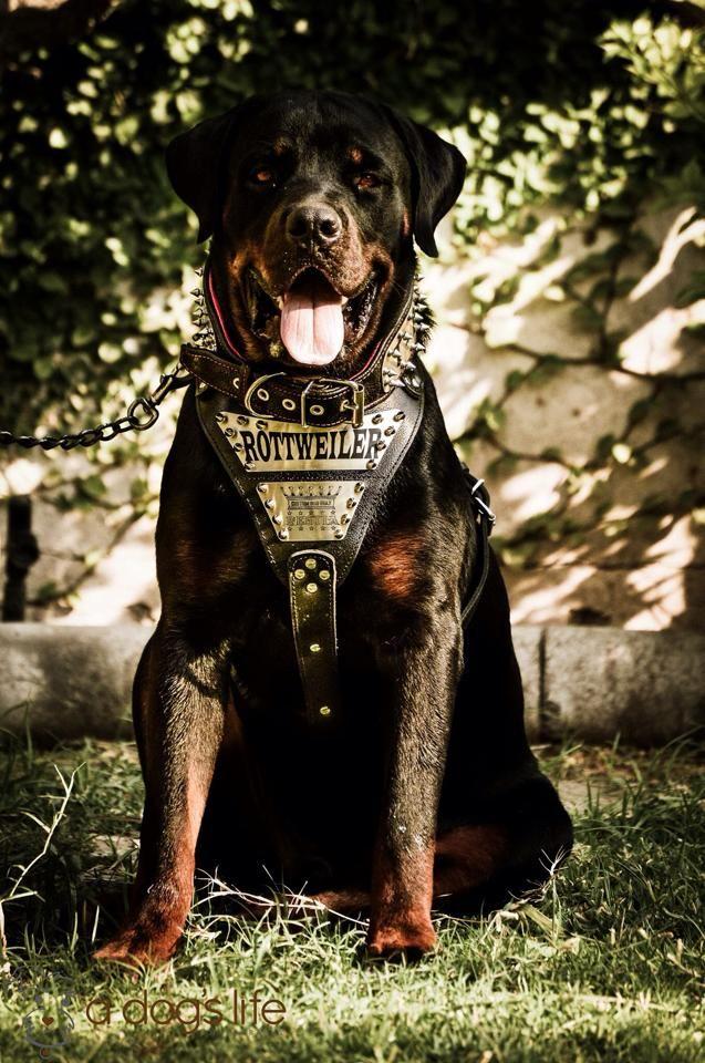 Rottweiler.jpg (637×960)