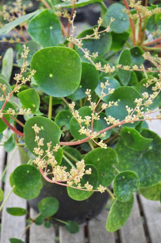 17 best images about pilea on pinterest aarhus belle for Plante pilea