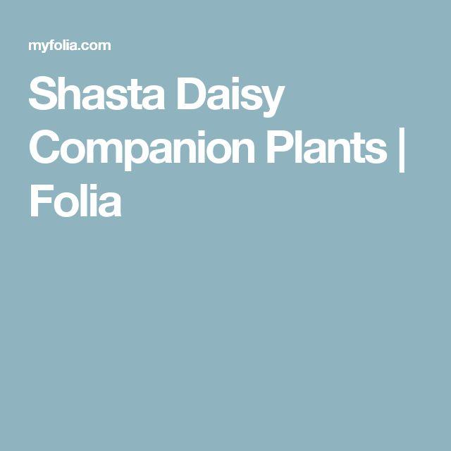 Shasta Daisy Companion Plants   Folia