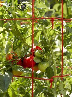 JITOMATE HIDROPÓNICO ¡CULTÍVALO EN TU HOGAR! El #Jitomate también conocido como #Tomate rojo pertenece a la familia de las solanáceas; esta hortaliza es una de las más consumidas a nivel mundial debido a sus características nutritivas y por los beneficios que le brinda al organismo. Al rededor del mundo existen distintas variedades de tomate rojo que se clasifican por su uso, tamaño y forma... Lee más dando click en la imagen.