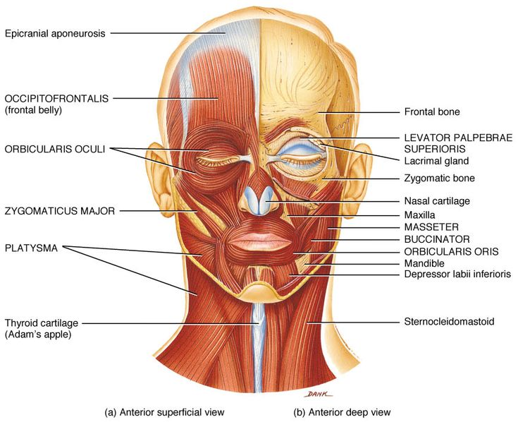 corrugator supercilii - google 검색 | forensic anatomy references, Human Body