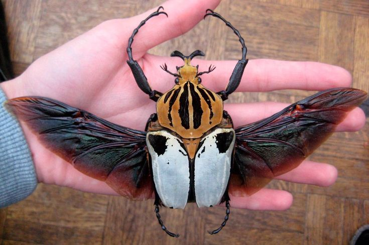 Goliathus, escarabajos Goliat