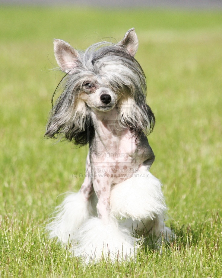 128 Best Chinese Crested Images On Pinterest Pictures