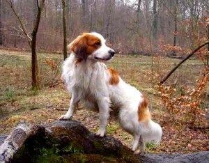 Clases de Perros: Perros de Muestra