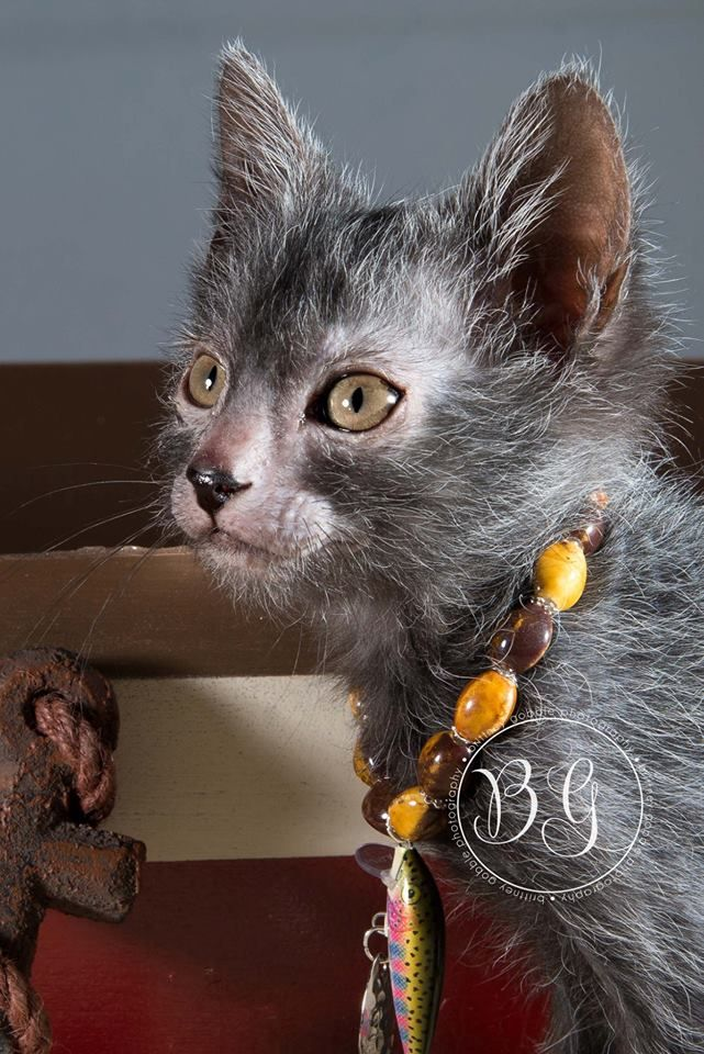 Rise of the Werewolf Cats: a New Breed Is Born - The Featured Creature