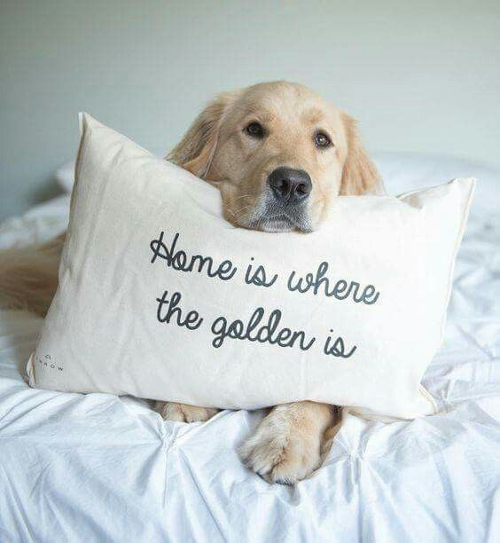 Golden with printed pillow.