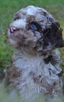Labradoodles SC Breeders - Multi-Gen Puppies