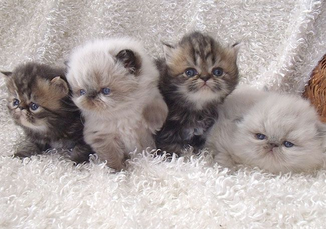 persian kittens - Google Search