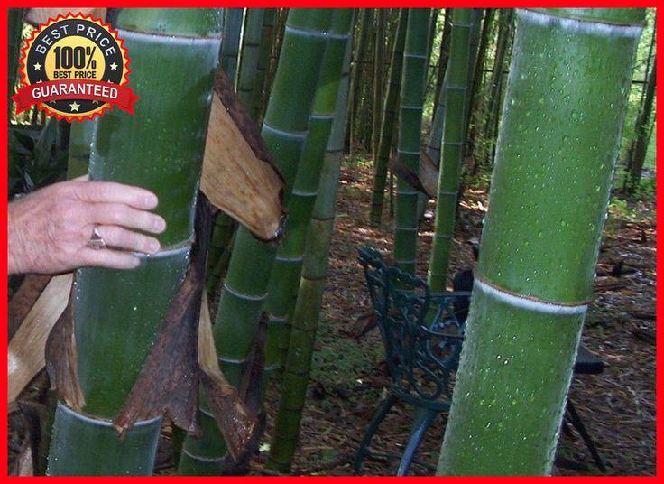 200+ Fresh Giant Bamboo Seeds with Instructions Dendrocalamus Giganteus - HARDY #GiantBambooSeeds