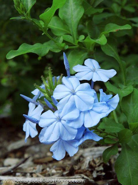 Rose Quartz & Serenity - My flower inspirations. Plumbago