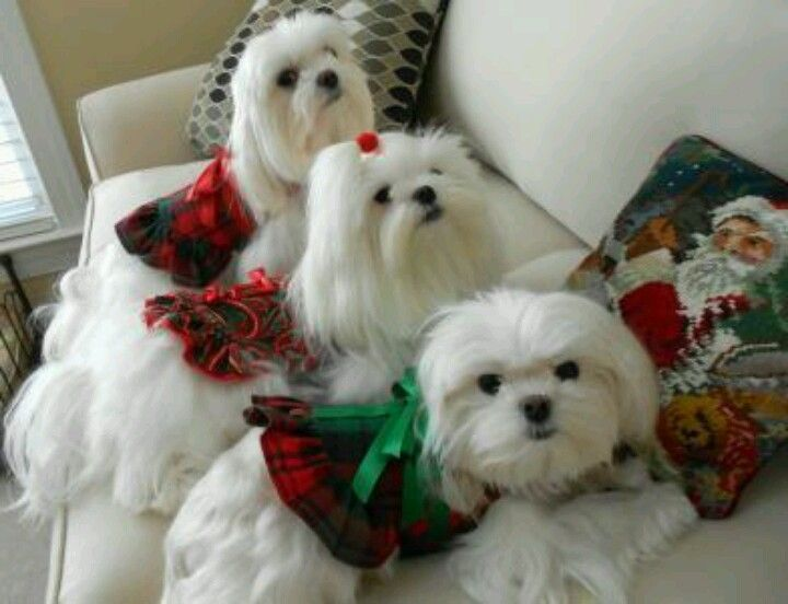 Holiday Maltese babies so precious!