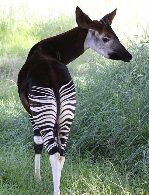 Okapi a giraffid artiodactyl mammal native to the Ituri Rainforest, located in the northeast of the Democratic Republic of the Congo, in Central Africa