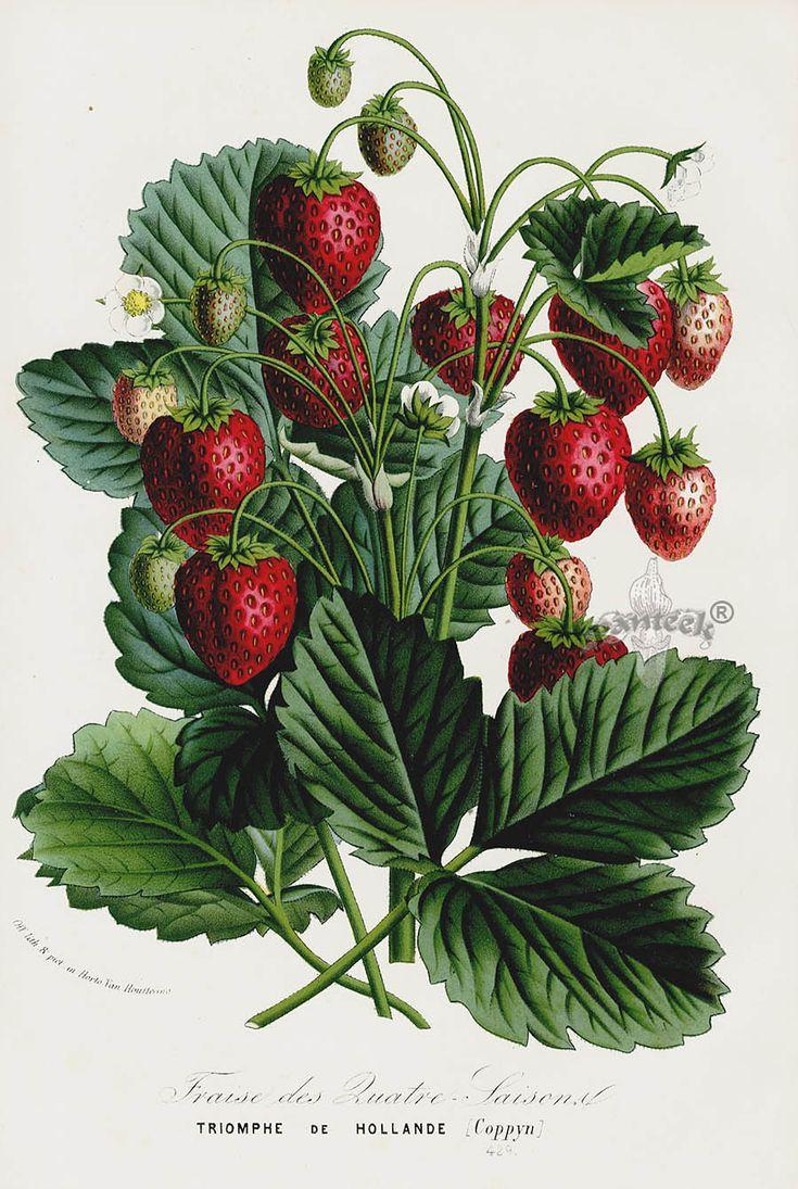 1845 Van Houtte Strawberry, Raspberry, Pear, Grape, Fruit, Vegetable & Nut Prints