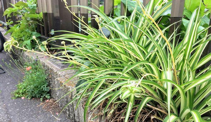 丈夫で育てやすく植物初心者の方にもおすすめのオリヅルラン。ランナーで子株がどんどん出てきて増やすことが出来ます。増えた子株は涼し気に水栽培などのアレンジを楽しめます。これからの季節にピッタリのオリヅルラン、育ててみませんか?