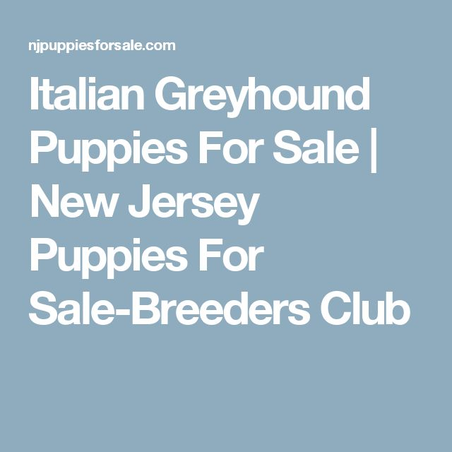 Italian Greyhound Puppies For Sale   New Jersey Puppies For Sale-Breeders Club