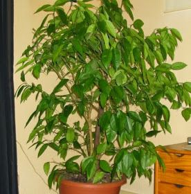 gkkreativ: Zitronenbaum selber ziehen