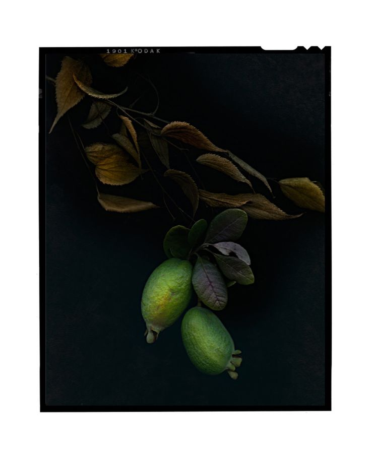 Feijoa by Jeff Moorfoot Type C Print 81 x 102