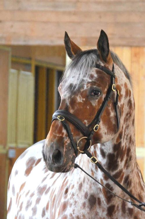 leopard appaloosa- had a colt born that looked just like this once.