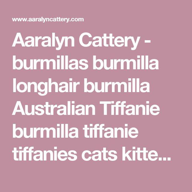 Aaralyn Cattery - burmillas burmilla longhair burmilla Australian Tiffanie burmilla tiffanie tiffanies cats kittens breeders australia aaralyn cenedra tristone