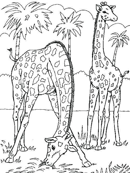 Coloriages Girafe Index Of Coloriage Girafe A Imprimer Gratuit