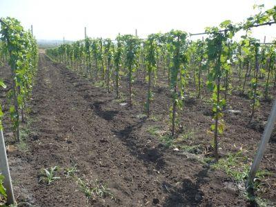 Atunci când dorim să plantăm butași de viță-de-vie în grădină este bine să ne asigurăm că materialul săditor este unul de calitate și din...