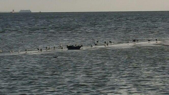 zeehond in de Waddenzee