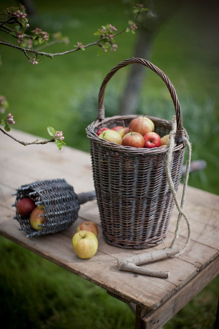Time for apple harvesting