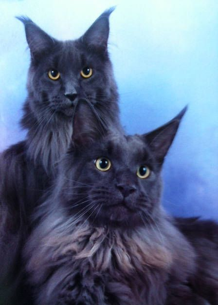 Maine Coon Kittens for Sale | Northamptonshire Maine Coon Kitten Breeder