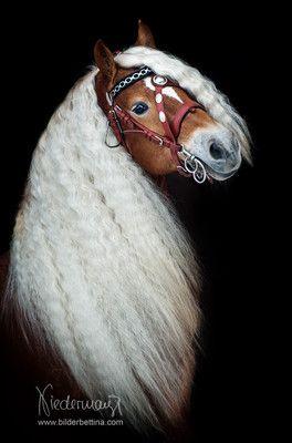 Anspannung - Pferdefotografie, Hundefotografie, Fotografie Bettina Niedermayr Pferde - Mensch & Pferd - Hunde- Portrait - Stallschilder - Kalender, Pferdekalender, Haflingerkalender mit Kohlfuchs Liz. Steiermark