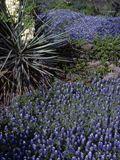 NPIN: Lupinus texensis (Texas bluebonnet)