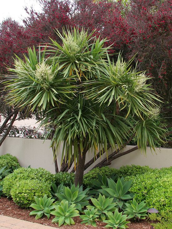 Cabbage tree (Cordyline australis) and agave. Cordylines are related to yuccas and agave making those plants natural garden companions.