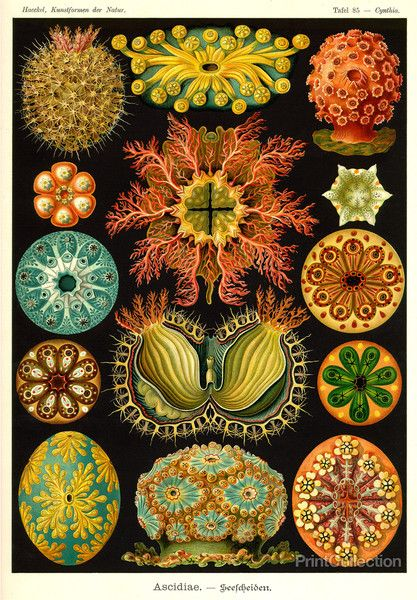 "Ascidiae plate from ""Kunstformen der natur""  by Ernst Haeckel, 1904.  PrintCollection.com."