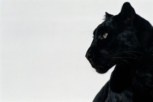 aesthetic, animals, black, feline, minimalism
