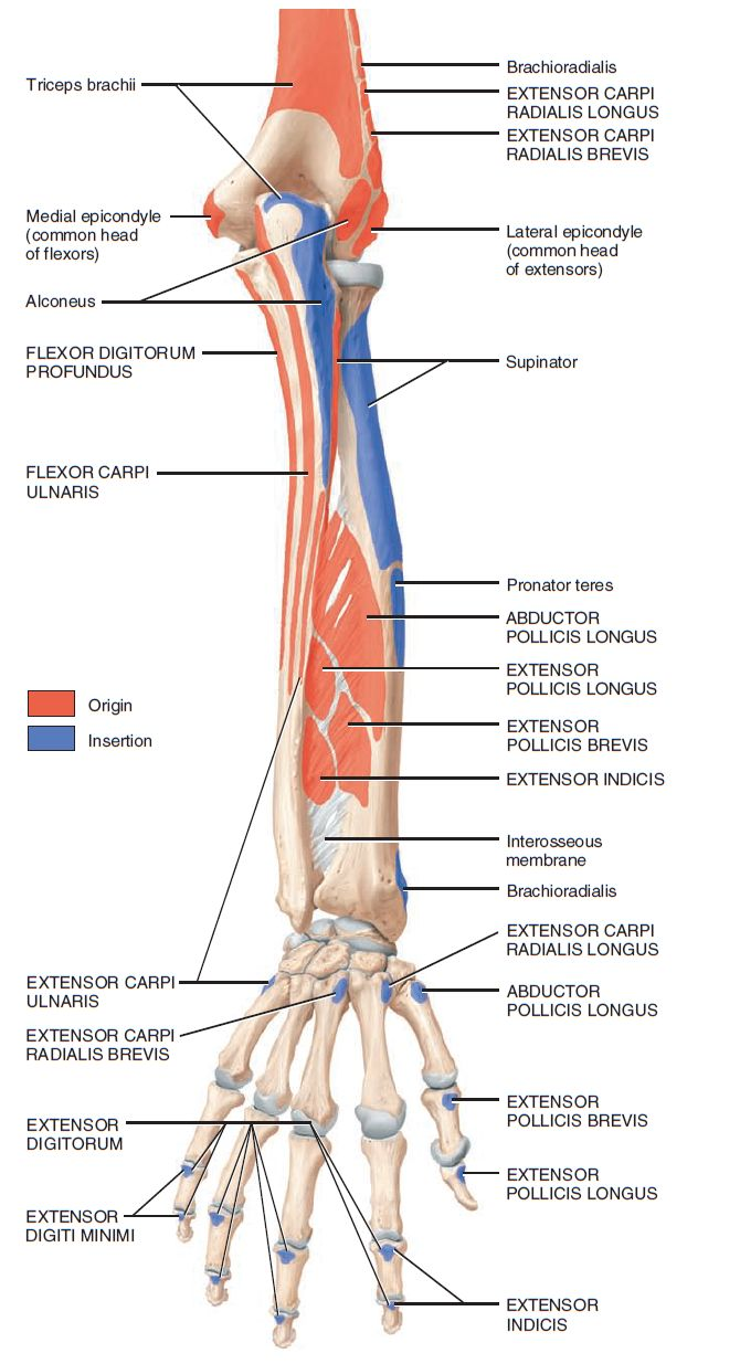 how to remember posterior forearm muscles