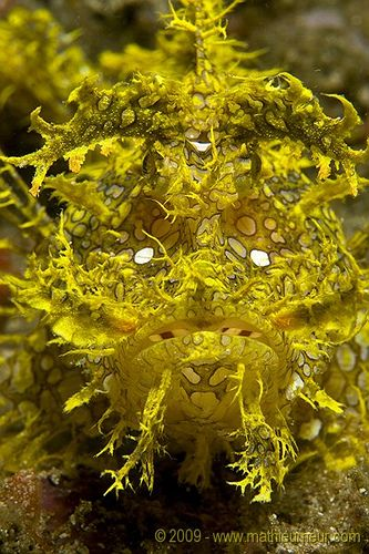 Yellow rhinopias by Mathieu Meur. This is a fish!
