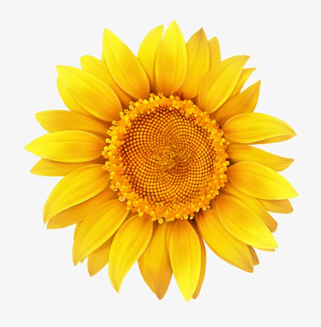 Hand Painted Yellow Sunflower Hand Flower Petal Png Image And Clipart Sunflower Clipart Sunflower Png Flower Png Images