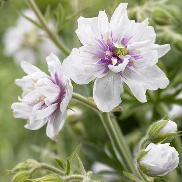 Geranium Pratense Double Jewel Wishlist Perennial