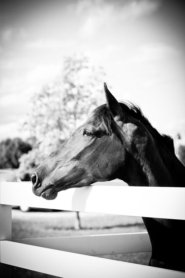 Black stallion, White fence - rustic country home decor - whimsical - farm animals - kids room decor - black and white fine art photography. $20.00, via Etsy.