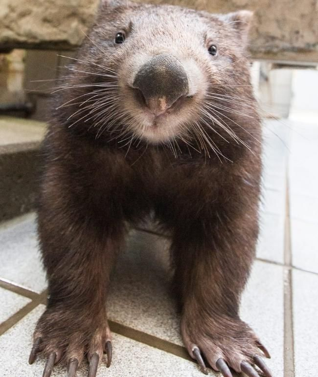 "Nacktnasenwombat ""Tinsel"" (2) is certainly crowd favorite in Duisburg Zoo"
