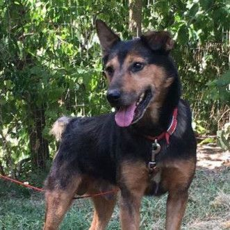 BOB Breed: German Shepherd Dog / Mixed (medium coat) Age: Senior Sex: Male Size: Medium Shelter: Magnificent Mutts Rescue Location: Hillside, IL 60162