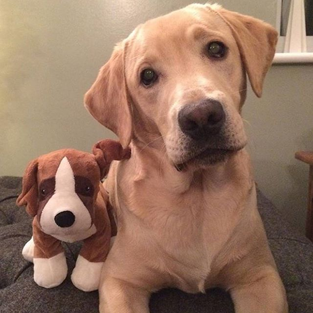 Baxter and his friend. Thanks for the tag   📷 credits by @baxter_the-labrador #labrador