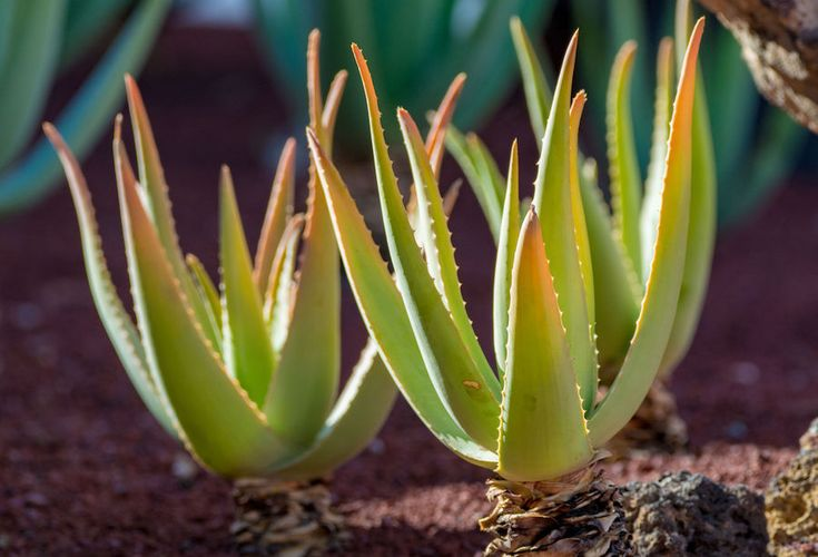 Why Is My Aloe Plant Turning Brown? (And What to Do When ...