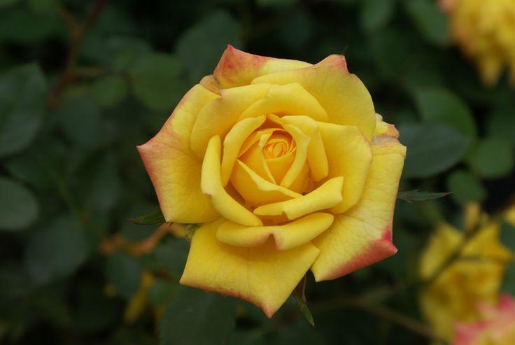 Starting A Rose Garden