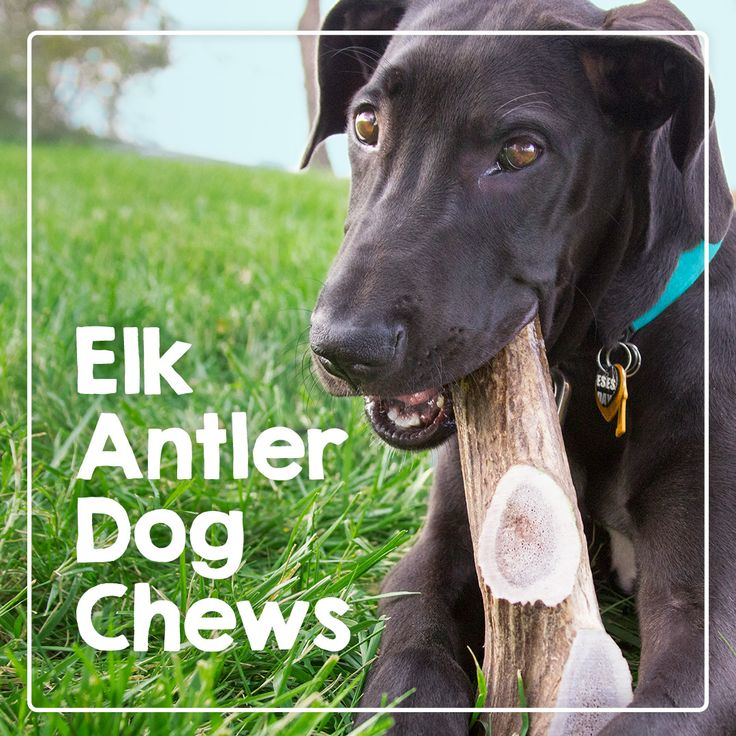 the 25 best elk antlers for dogs ideas on pinterest dog chews dog dental chews and the chew. Black Bedroom Furniture Sets. Home Design Ideas