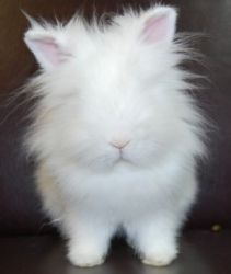 Stewie is an adopted Lionhead Rabbit in Waukesha, WI. Mark your Calendars! BUNNY DAY 2012 is Sunday March 18! For more info go to http://www.hawspets.org/calendar/default.asp?pcode=UPCOMING_EVENTS. Hi...
