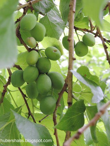Darlene Huber: Plum Trees Soon it will be plum season can hardly wait to make my favourite Zwetschken Noodle