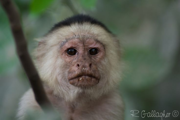 https://flic.kr/p/teJSYW   White-headed capuchin   The white-headed capuchin (Cebus capucinus), also known as the white-faced capuchin or white-throated capuchin, is a medium-sized New World monkey of the family Cebidae, subfamily Cebinae. Native to the forests of Central America and the extreme north-western portion of South America, the white-headed capuchin is important to rainforest ecology for its role in dispersing seeds and pollen.  Among the best known monkeys, the white-headed…