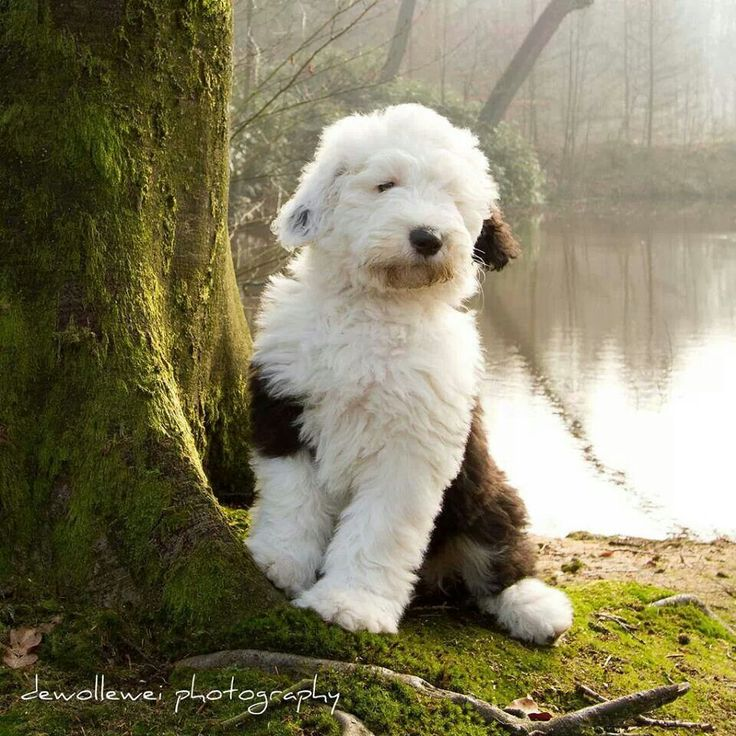 Old English Sheepdog Puppy!! How can you not love these dogs?!? I will have another one someday