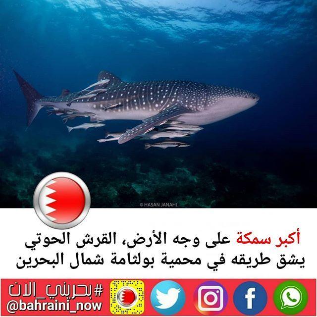 أكبر سمكة على وجه الأرض القرش الحوتي يشق طريقه في محمية بولثامة شمال البحرين جميل أن تعيش مثل هذه الكائنات في بحرنا بسلاااام This Lovely Whale Shark W