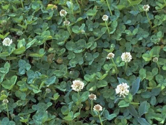 white dutch clover as a grass lawn alternative. reaches 2-8 inches. Less trimming, very little watering. Tolerates dog pee and roughhousing.